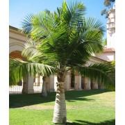 Ravenea Rivularis - 10 graines