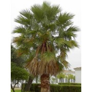 Washingtonia Filifera - 10 graines
