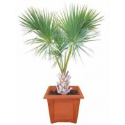 Sabal Palmetto - 10 graines