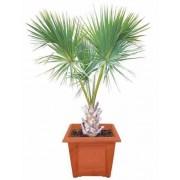Sabal Palmetto - 10 graines