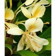 Hedychium Coronarium var. Flavescens - 10 graines