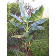 Musa Sikkimensis - 10 graines