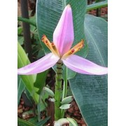Musa Ornata pink flower - 10 graines