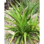 Yucca Rupicola - 10 graines