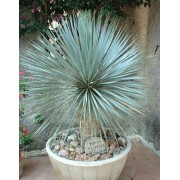 Yucca Rostrata - 10 graines