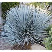 Yucca Rigida - 10 graines