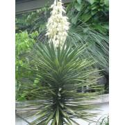 Yucca Aloifolia - 10 graines