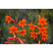 Watsonia Pillansii - 10 graines