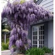Wisteria Floribunda - 10 graines