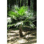 Trachycarpus Fortunei - 10 graines