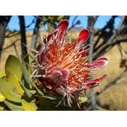 Protea Roupelliae - 10 graines