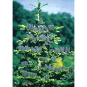 Abies Koreana - 10 graines