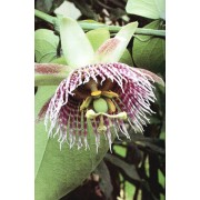 Passiflora Ligularis - 10 graines