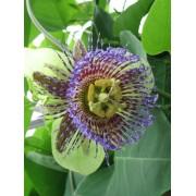 Passiflora Maliformis - 10 graines