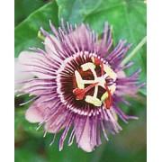 Passiflora Purple Giant - 10 graines