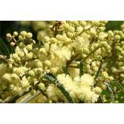 Acacia Mearnsii - 10 graines