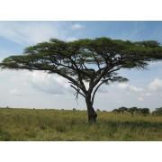 Acacia Tortilis - 10 graines