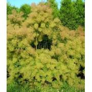 Cotinus Coggygria - 10 graines