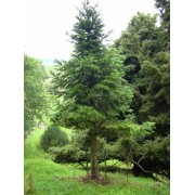 Abies Pindrow - 10 graines