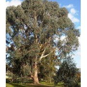 Eucalyptus Dalrympleana - 10 graines