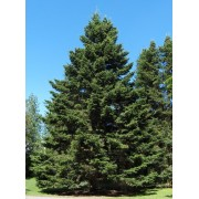 Abies Sibirica - 10 graines