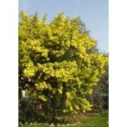 Acacia Dealbata - 10 graines