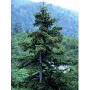 Picea Asperata - 10 graines