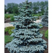 Picea Pungens - 10 graines