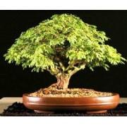 Acacia Mangium - 10 graines
