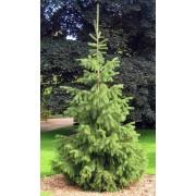 Picea Smithiana - 10 graines