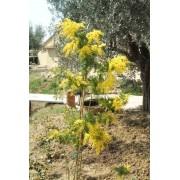 Acacia Retinodes - 10 graines