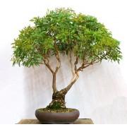 Eucalyptus Ovata - 10 graines