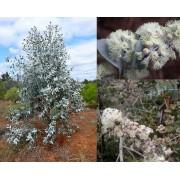 Eucalyptus Risdonii - 10 graines