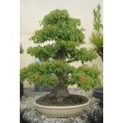 Acer Buergerianum - 10 graines