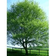 Acer Campestre - 10 graines
