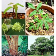 Acer Griseum - 10 graines