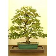 Acer Negundo - 10 graines