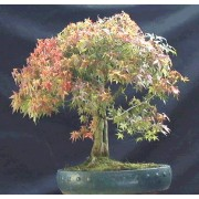 Acer Opalus - 10 graines