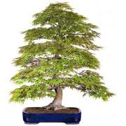 Acer Palmatum - 10 graines