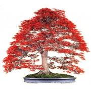 Acer Palmatum Atropurpureum - 10 graines