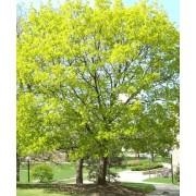 Acer Platanoïdes - 10 graines
