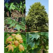Acer Pseudoplatanus Atropurpurea - 10 graines