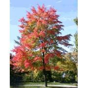Acer Rubrum - 10 graines