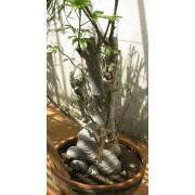 Adansonia Digitata - 10 graines