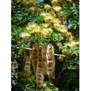 Albizia Lebbeck - 10 graines