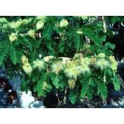 Albizia Lucidor - 10 graines