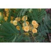 Albizia Odoratissima - 10 graines