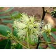 Albizia Procera - 10 graines
