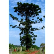 Araucaria Angustifolia - 10 graines