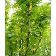 Caragana Arborescens - 10 graines